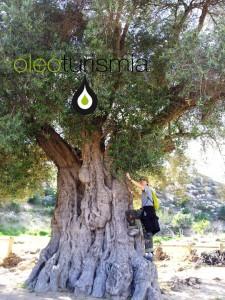 Olivo milenario en Agua Amarga