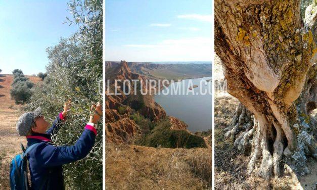 Oleoturismo en Toledo: Las Barrancas de Burujón