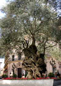 olivera de cort_palma