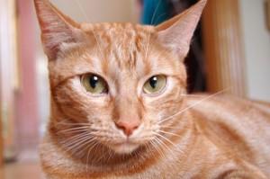 El aceite de oliva virgen extra también es perfecto para nuestros gatos.