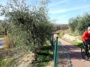 via verde del tajuna entre olivos con mar luna