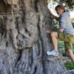 Oleoturismo en Almería: El olivo milenario de Agua Amarga